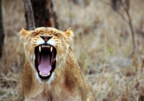 Московского диджея едва не скормили львице на цыганском дне рождения