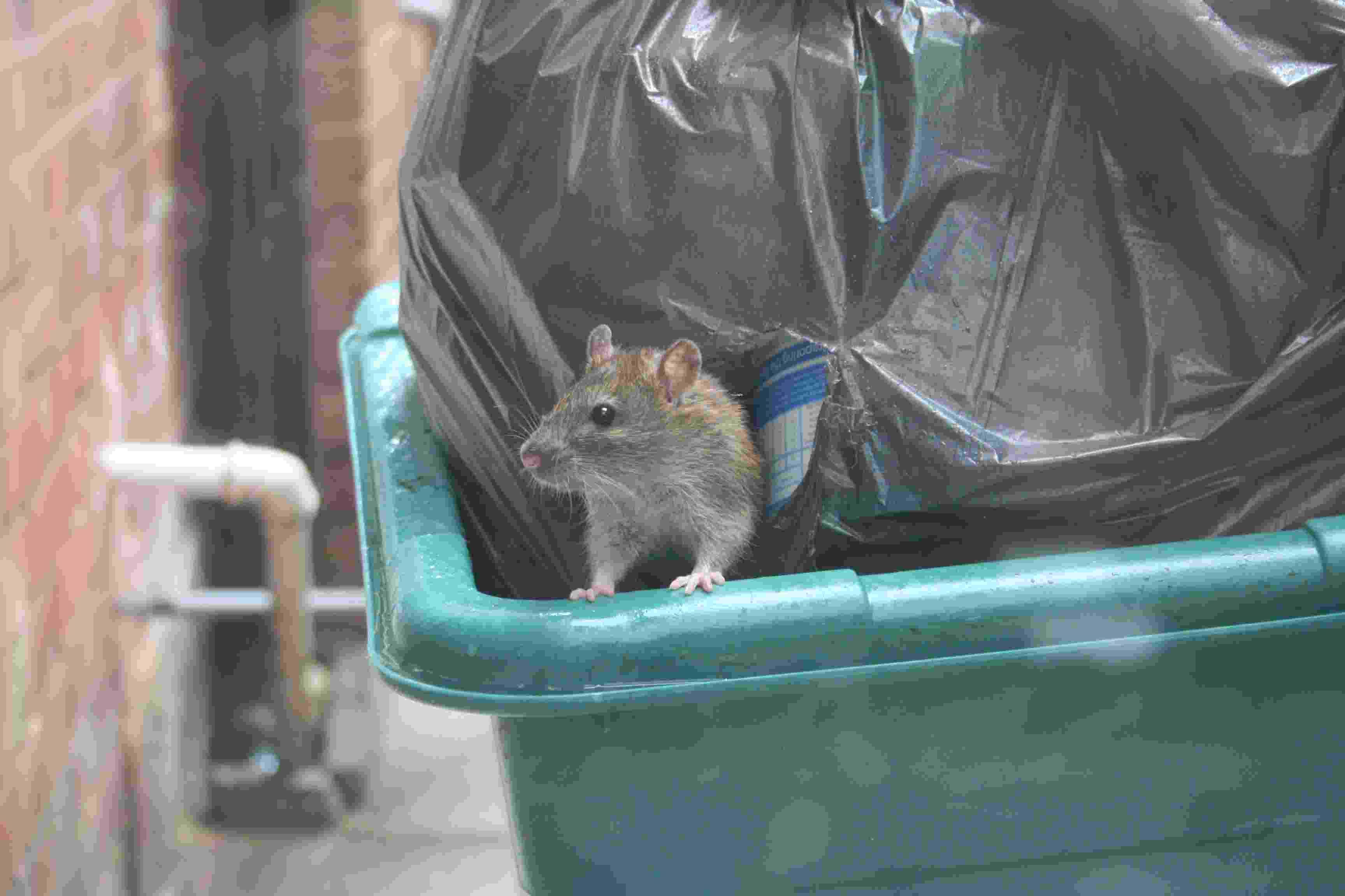 Волгоградцы жалуются насвободно разгуливающих погороду крыс