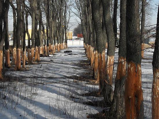 ВВолгограде вырубили тридцатилетние вязы на5 млн руб.