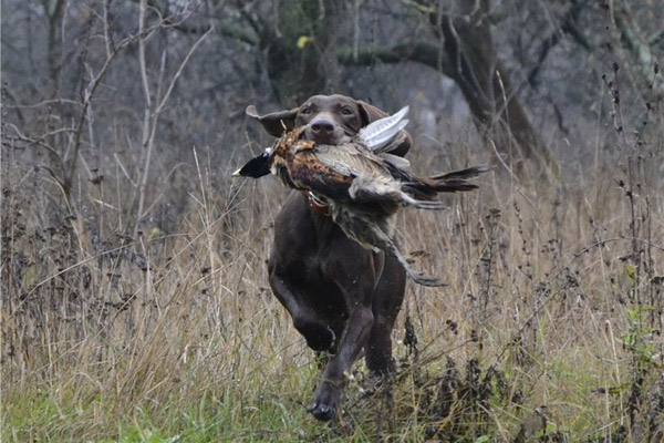 ВВолгоградской области стартовал сезон охоты нафазана