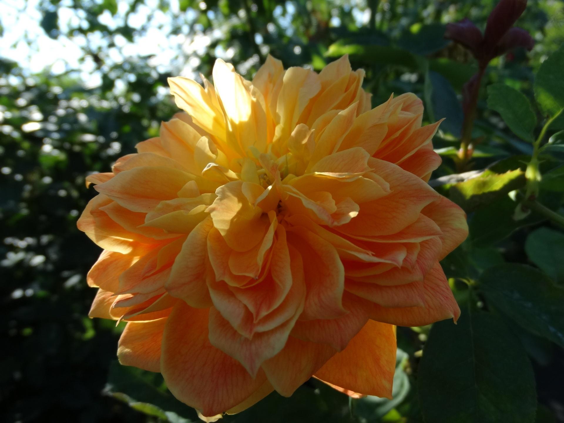 ВВолгограде выращивают «старинные розы»